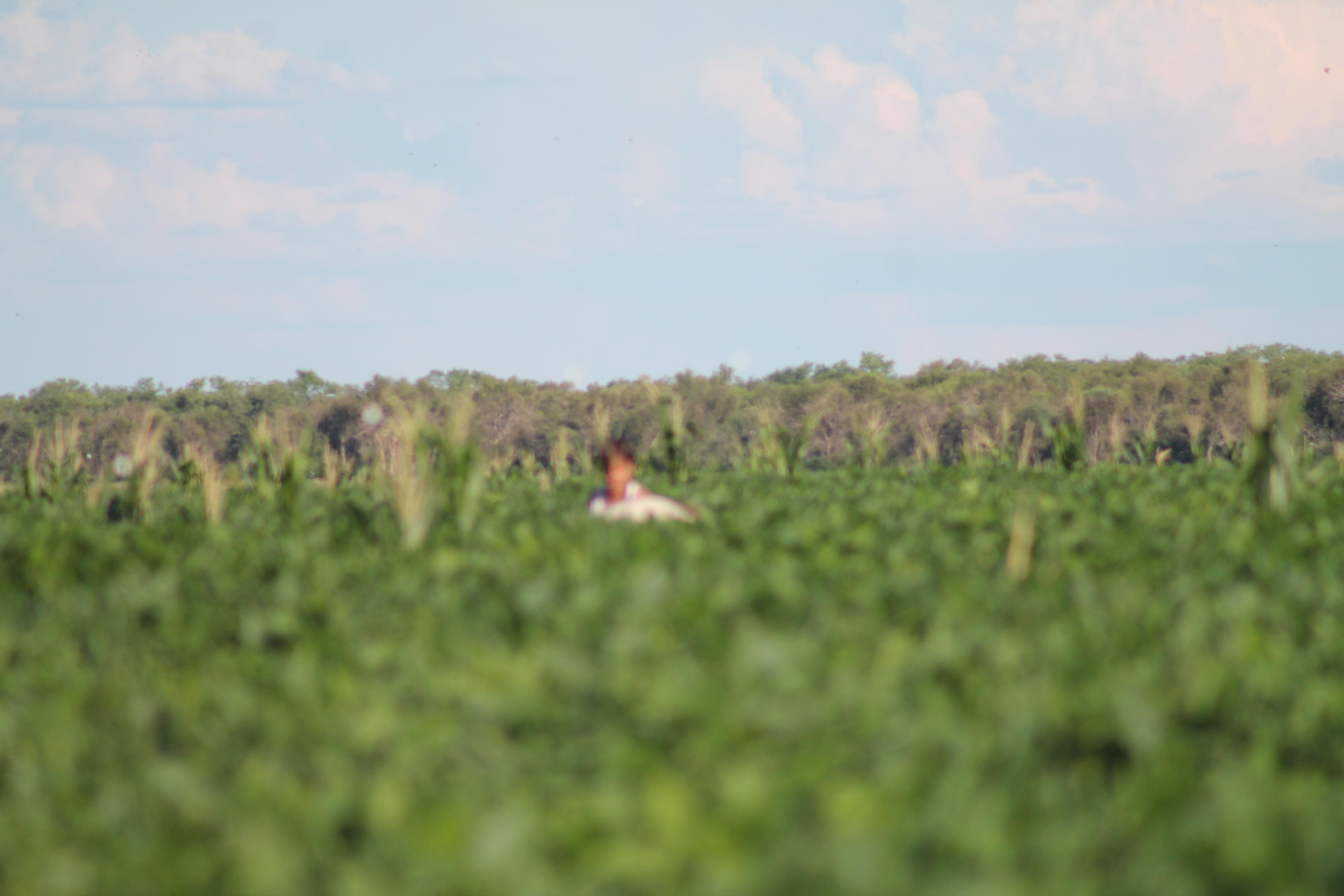 muestreos en campos de soja