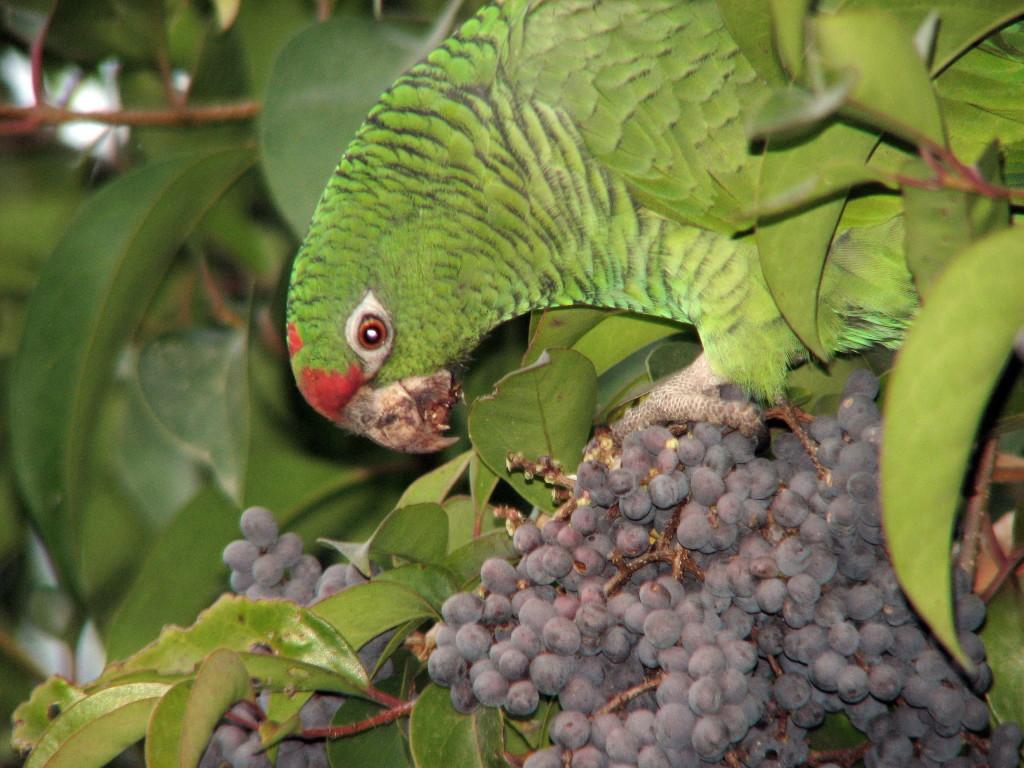 Amazona tucumana comiendo frutos de Ligustro lucidum