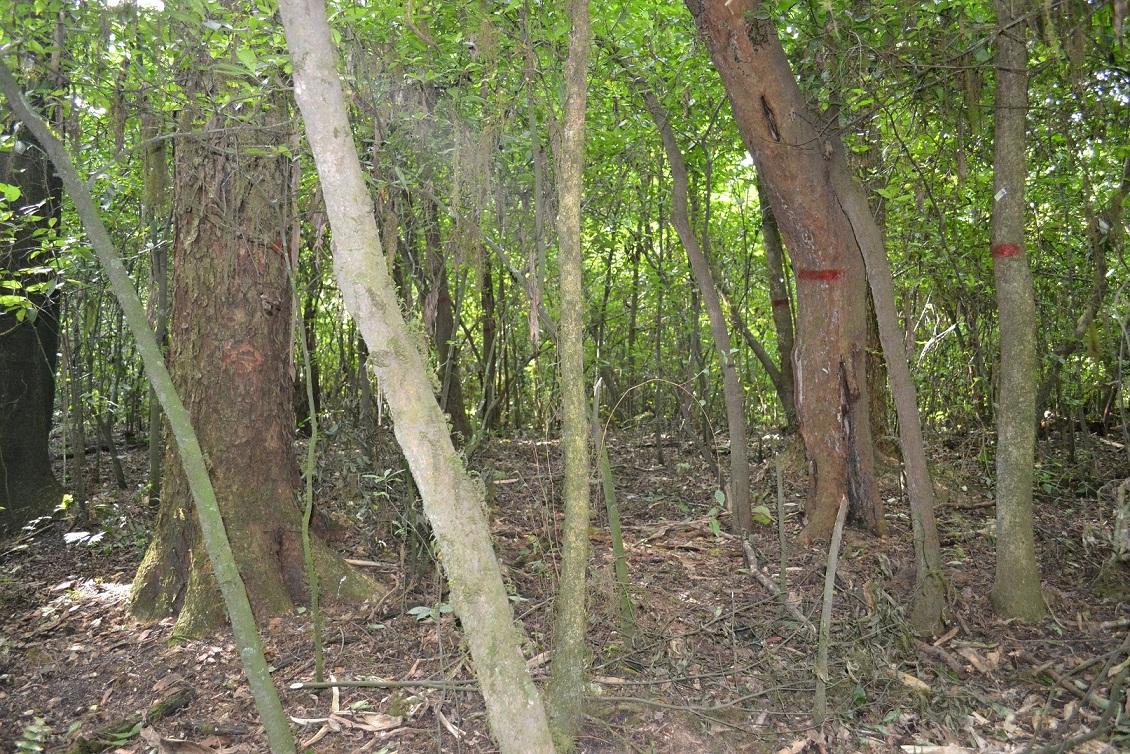 Árboles marcados y medidos